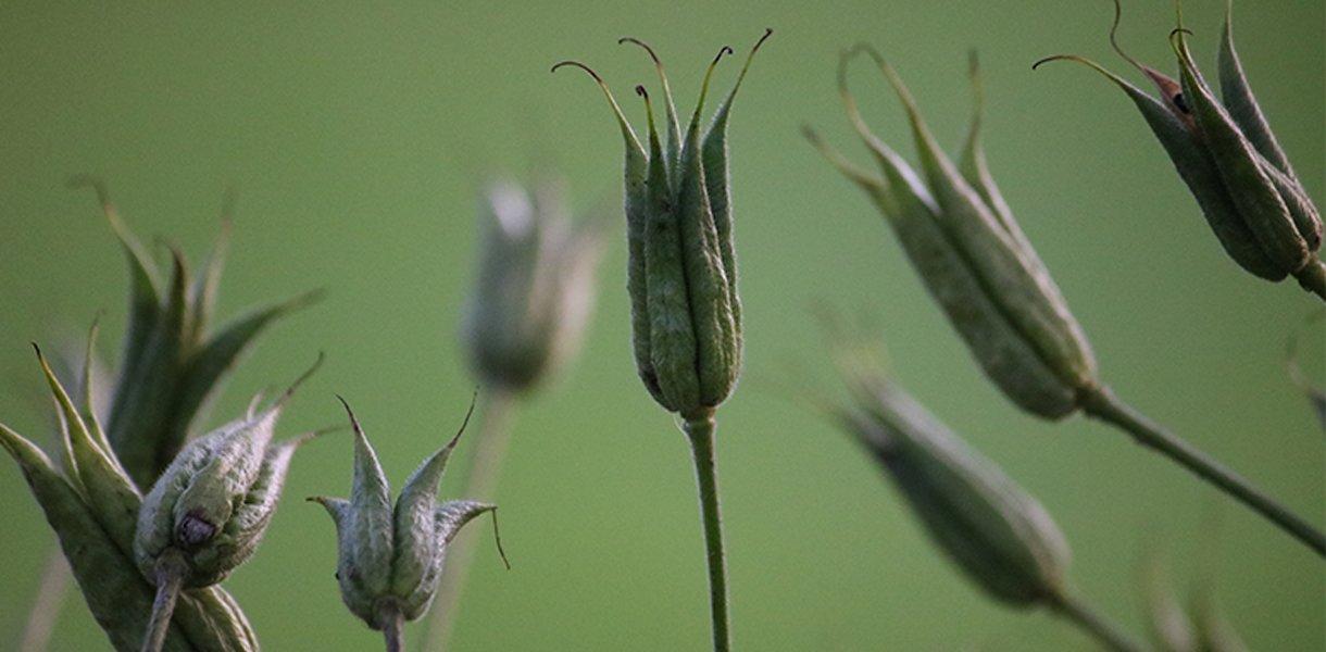 akeleie frøkapsler