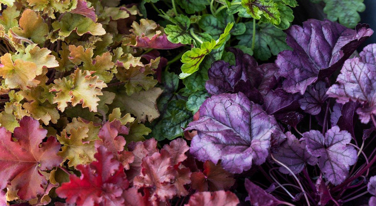 nærbilde av gul,rød,lilla og grønn alunrot