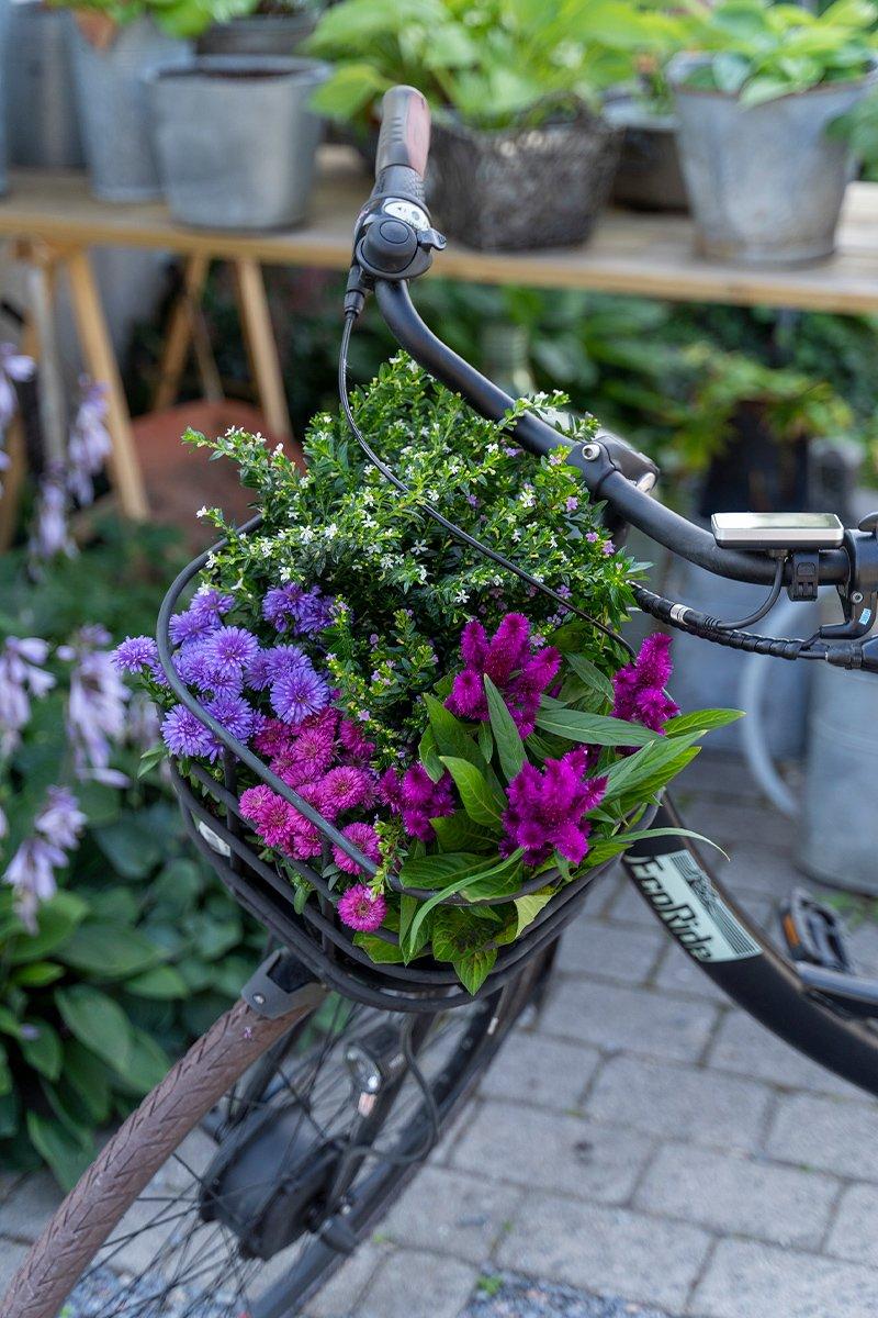 sykkelkurv med høstplanter i rosa og lilla