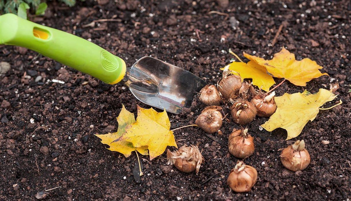 spade, høstløv og blomsterløk liggende i jord