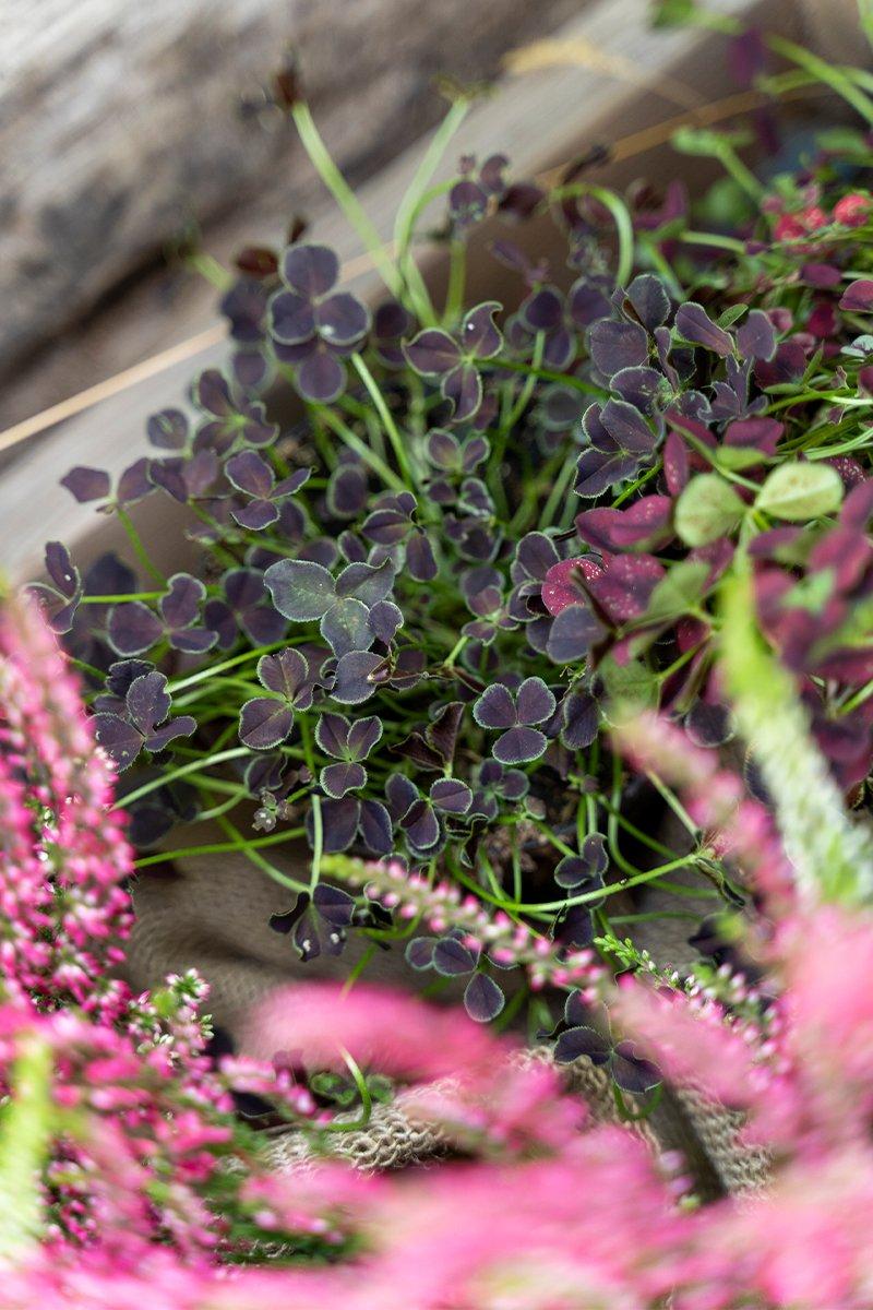 nærbilde av rød kløverplante og høstlyng