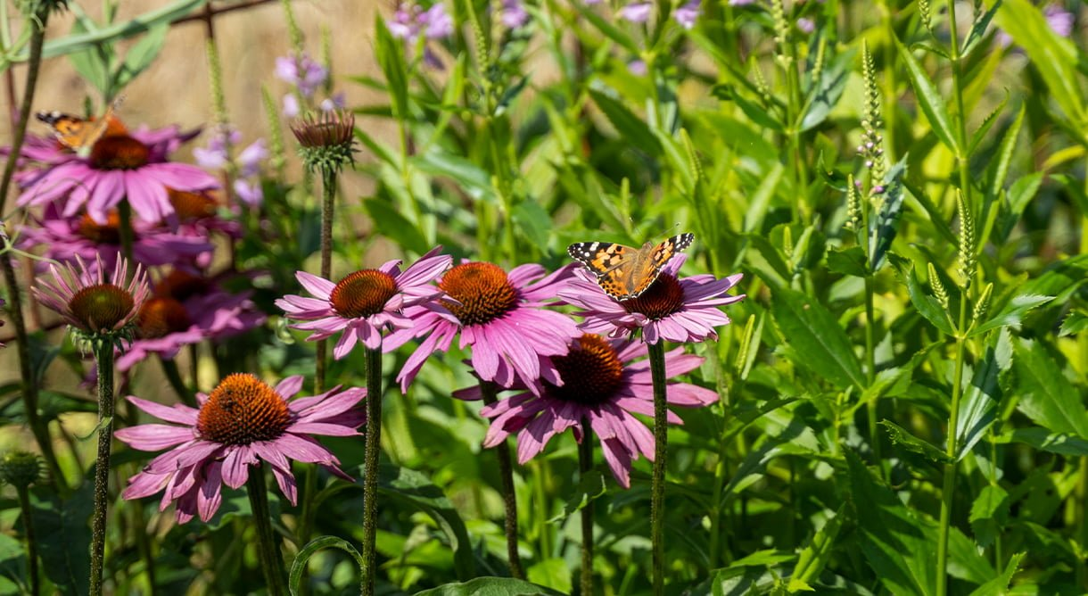 rosa solhatt med nestlesommerfugl