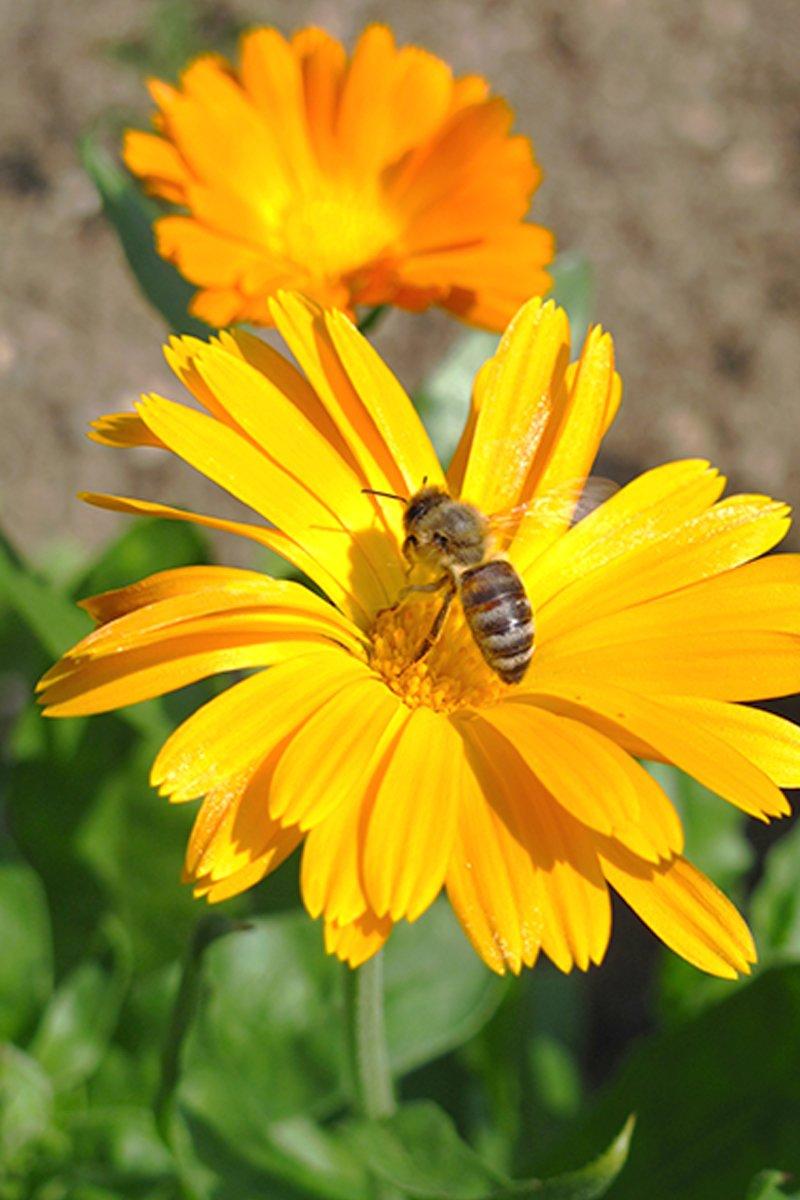 Nærbilde av oransje ringblomst med bie