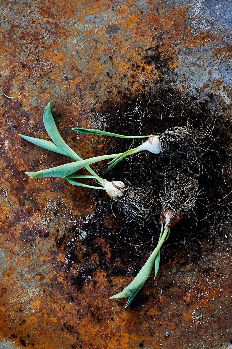 3 tulipanerløker i tidlig blomstring liggende på rustet plate med jord