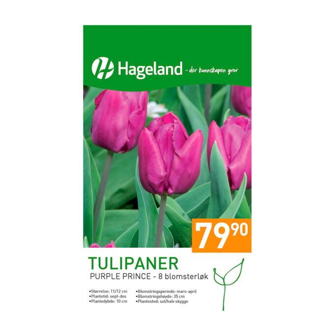 Frøpakke av tulipan purple prince