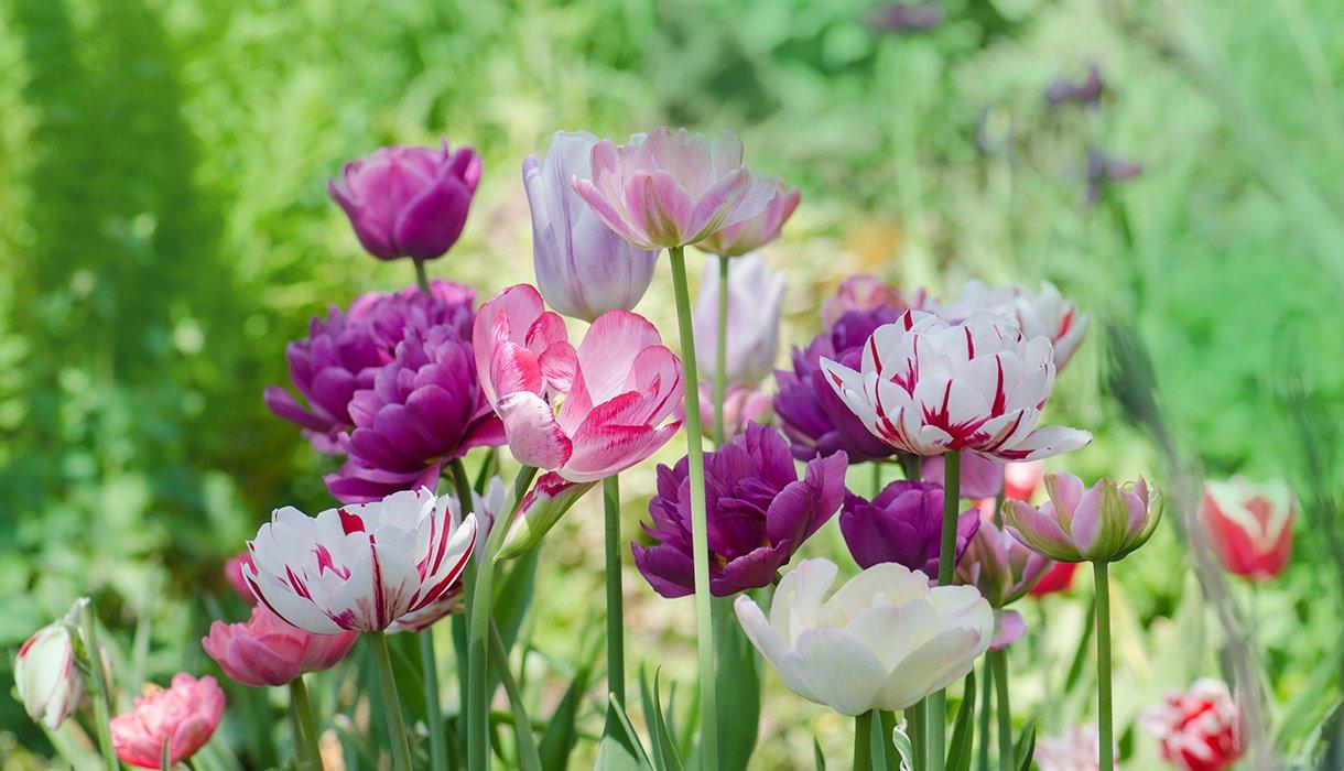 en mix av tulipaner i hagen i lilla, rosa og hvitt