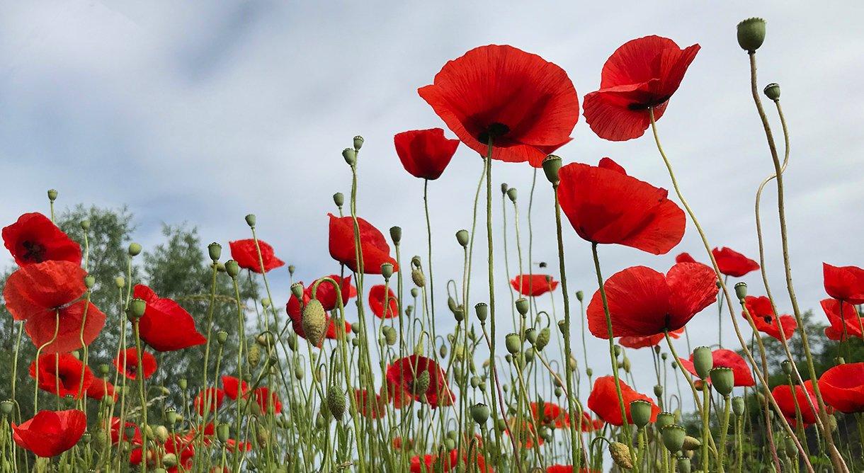 røde valmuer tett i tett på blomstereng