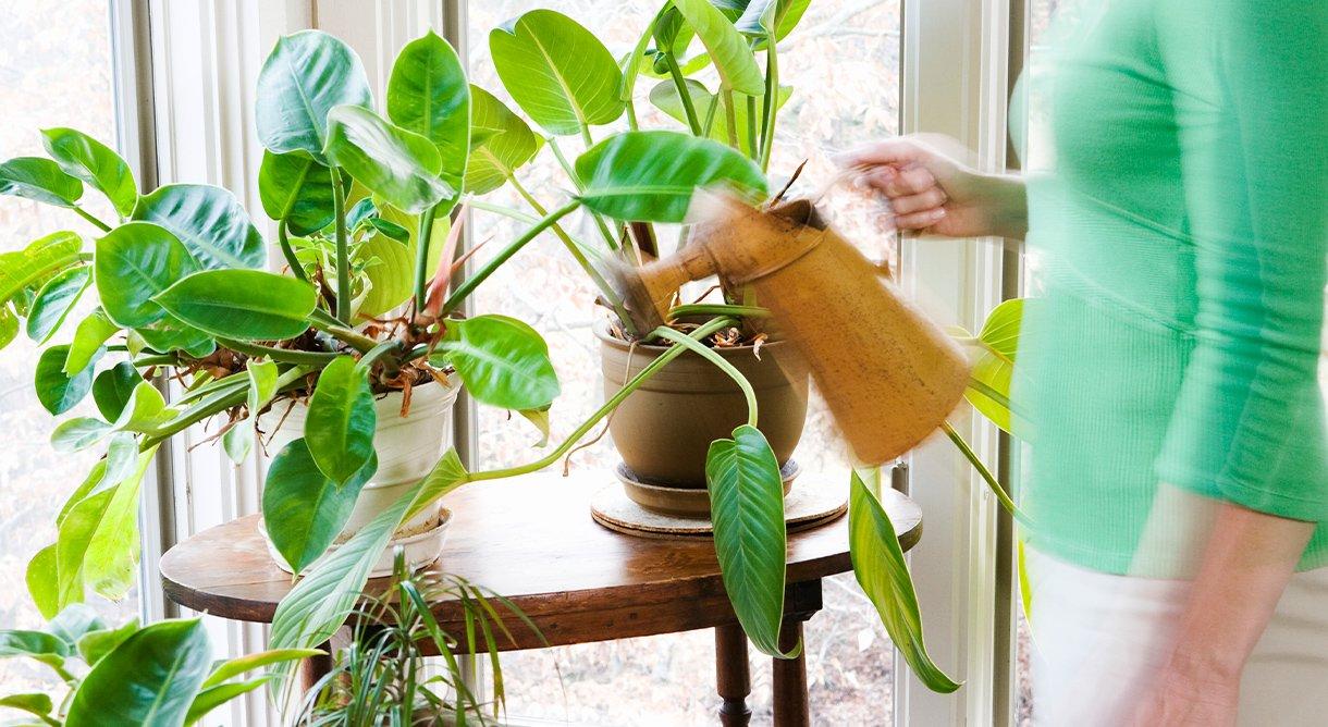 kvinne i grønn genser vanner grønne inneplanter