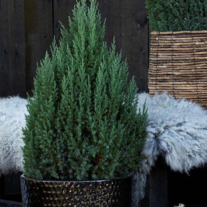 Kinaeiner Stricta er en tett, gråblå vintergrønn plante som er ideel til krukken ved inngangspartiet, eller om en prydbusk i hagen.