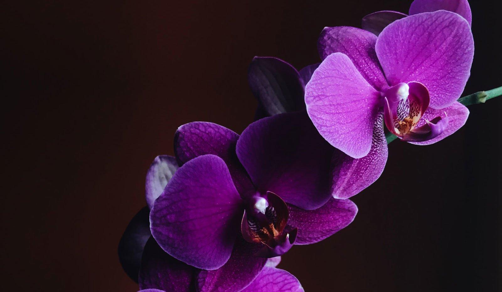 Nærbilde av blomstene til den lilla orkideen Phalaenopsis