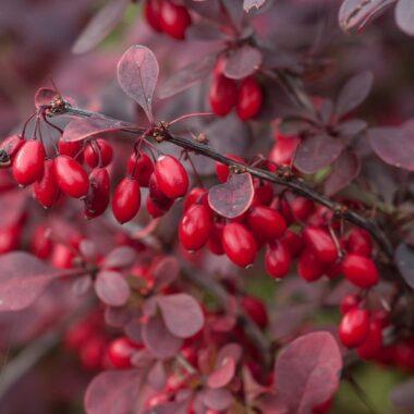 blodberberis. Røde bær og mørkerøde blader