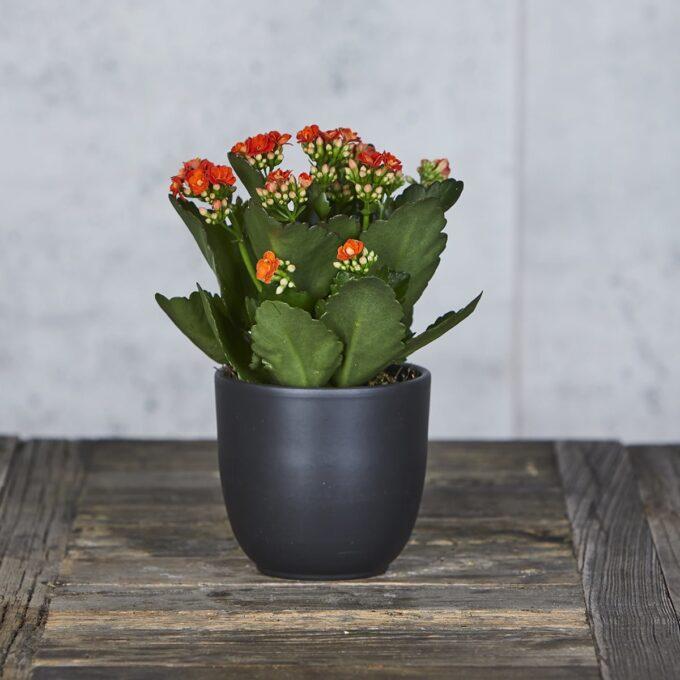 Calandiva er en sukkulent med relativt tykke blader som er blitt en av våre vanligste potteplanter.