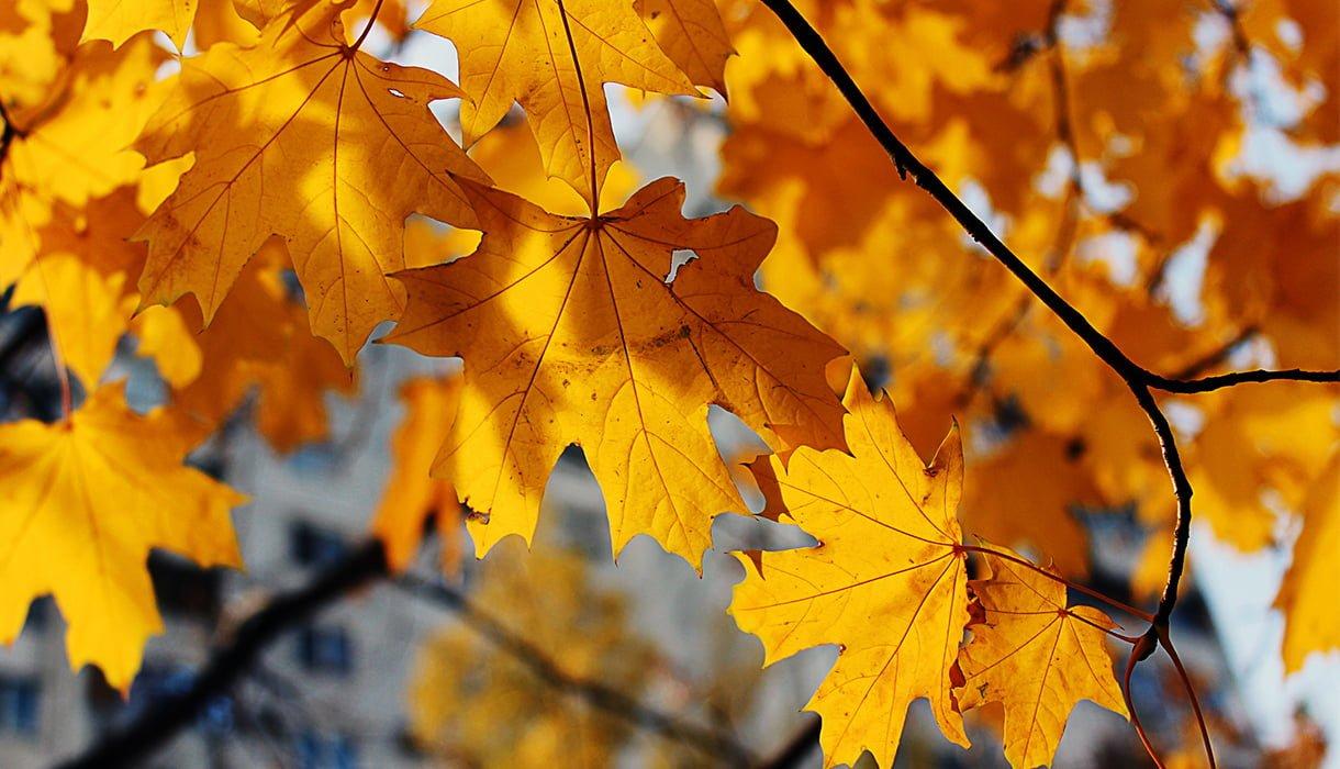 Nærbilde av oransje lønneblader på tre om høsten