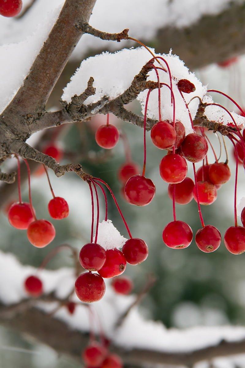 Knallrøde sargentepler henger på tre om vinter med snø på grenene