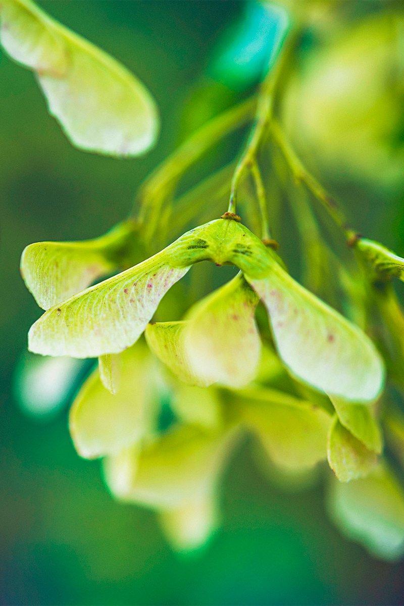 Nærbilde av grønne lønnefrø (neser)