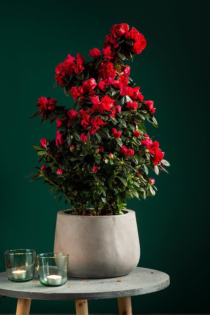stor, rød azalea i potte på lite bord
