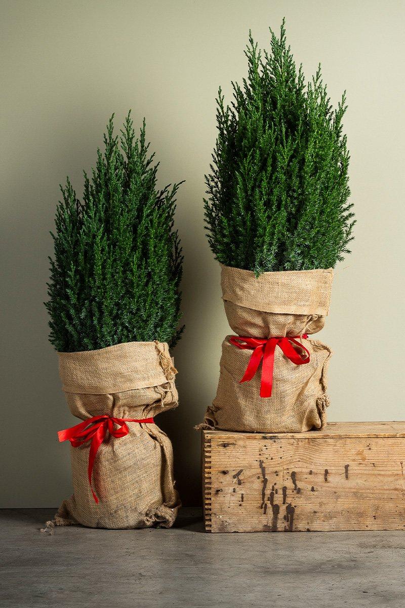 to juniperus pakket inn i stri og rød sløyfe