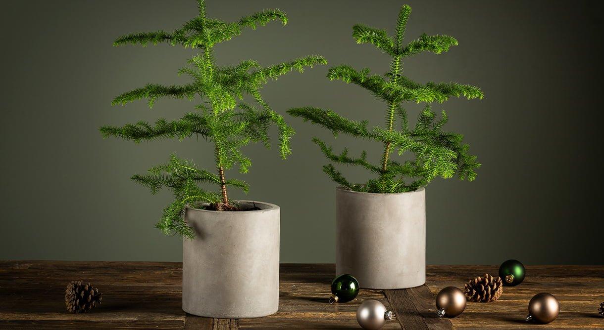 to stk stuegran i potter med julekuler på bordet