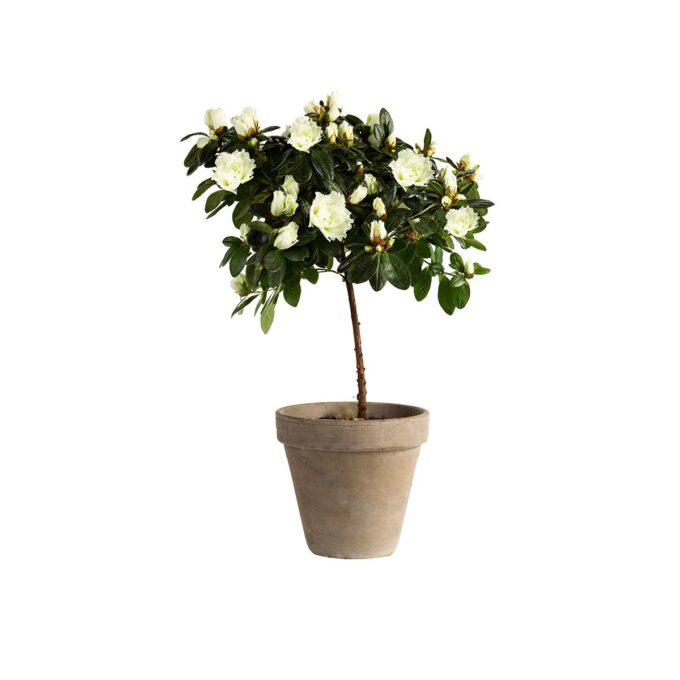 Azalea oppstammet 13 cm potte