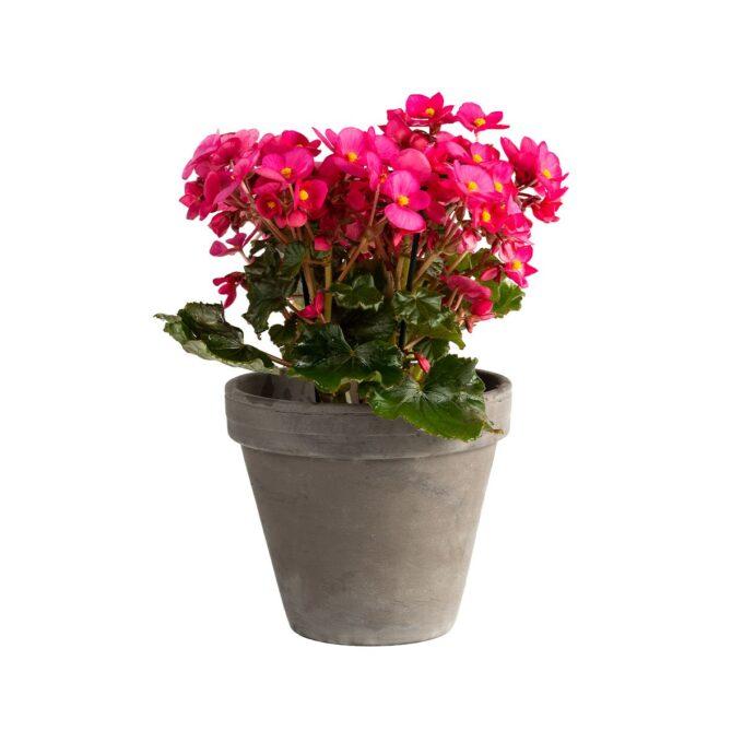 Trives best et lyst og solrikt sted i huset og blomstrer også best i mye sol finnes i mange farger