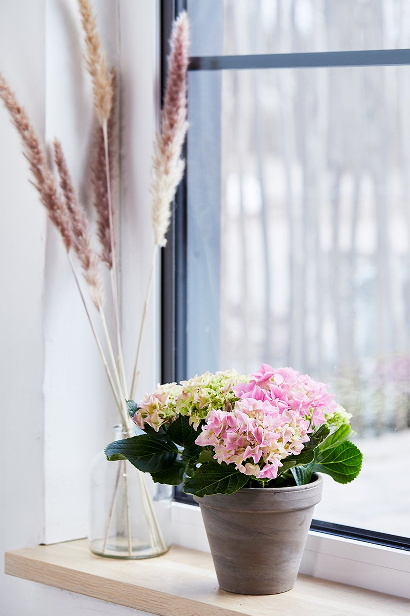 Bugnende hortensia i hvitt og rosa i vinduet