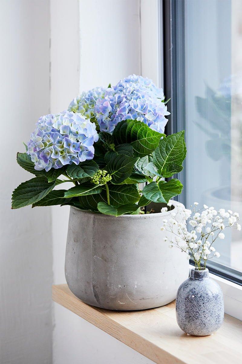 Bugnende hortensia i blått i vinduet