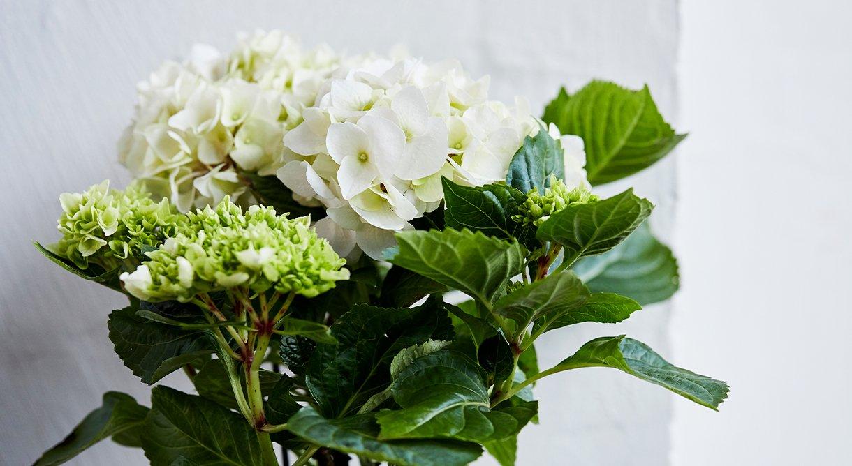 Bugnende hortensia i hvitt