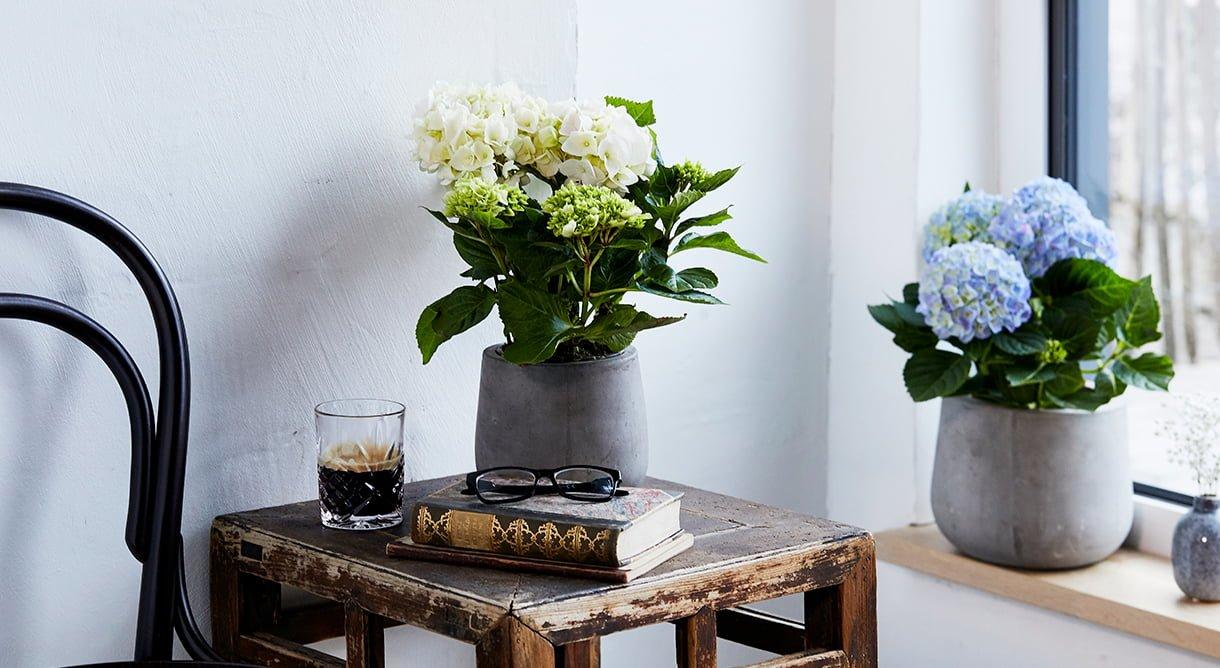 Bugnende hortensia i hvitt og blått i potte på bord og i vinduet