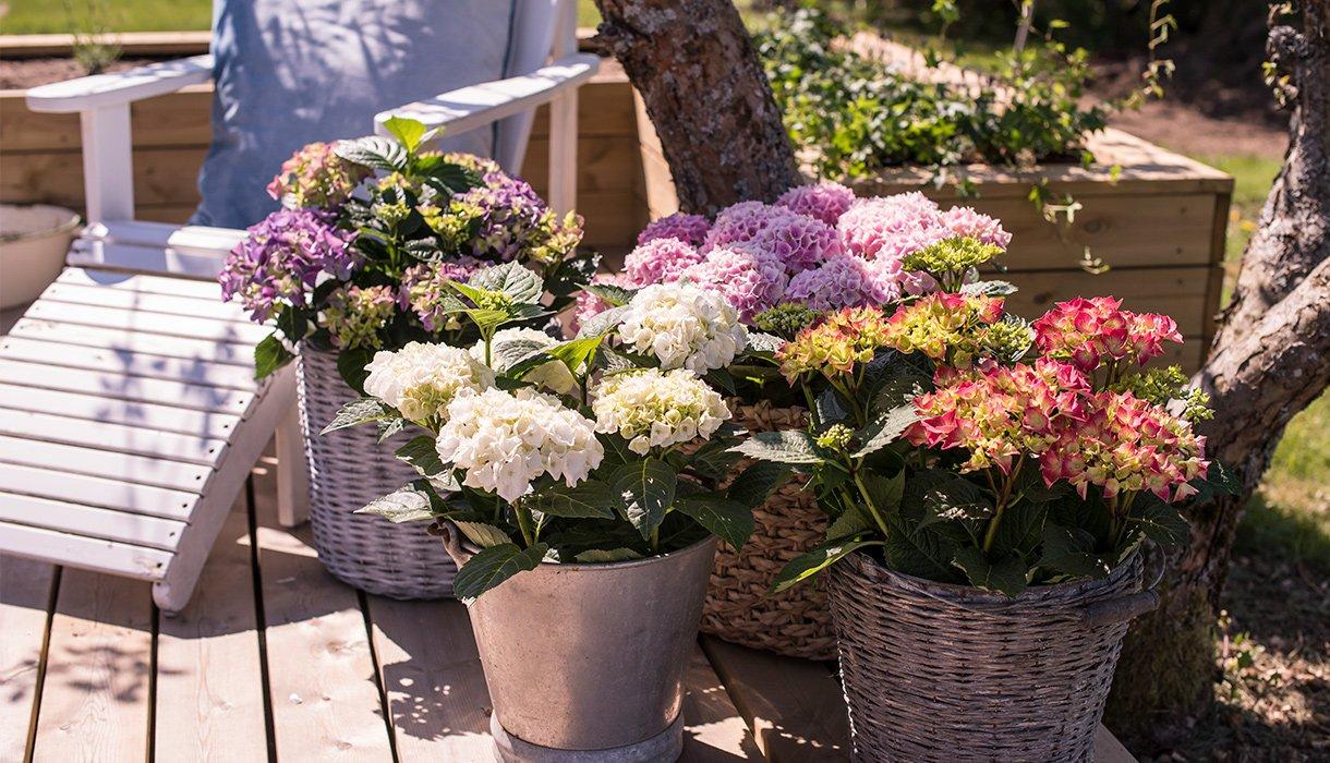 Bugnende hortensia i hvitt rosa lilla blå og gul på platting i hagen