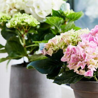 Bugnende hortensia i hvitt og rosa