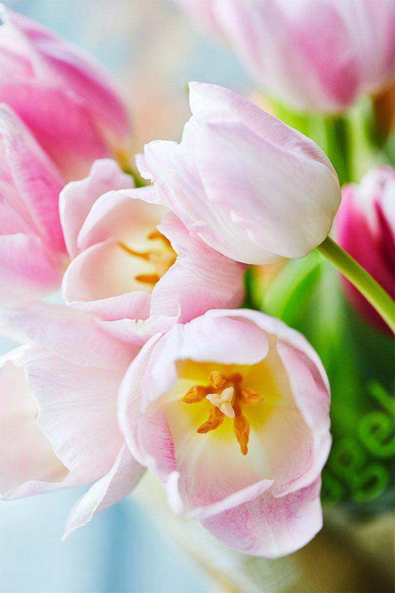 vakre tulipaner