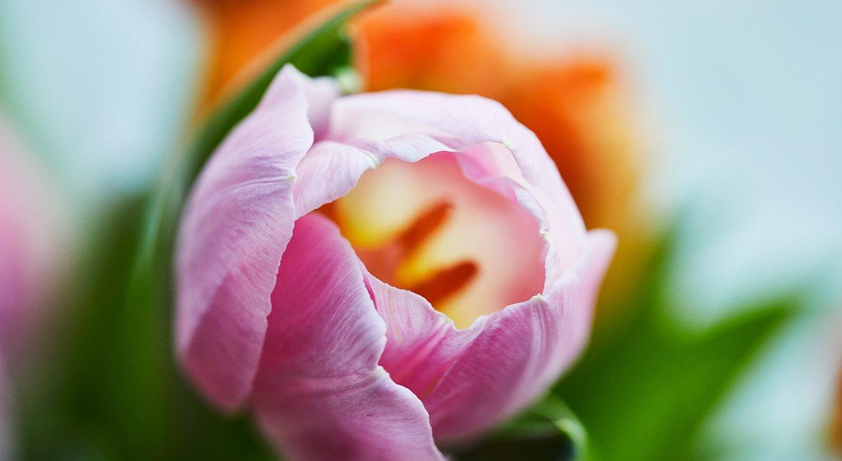 rosa tulipan