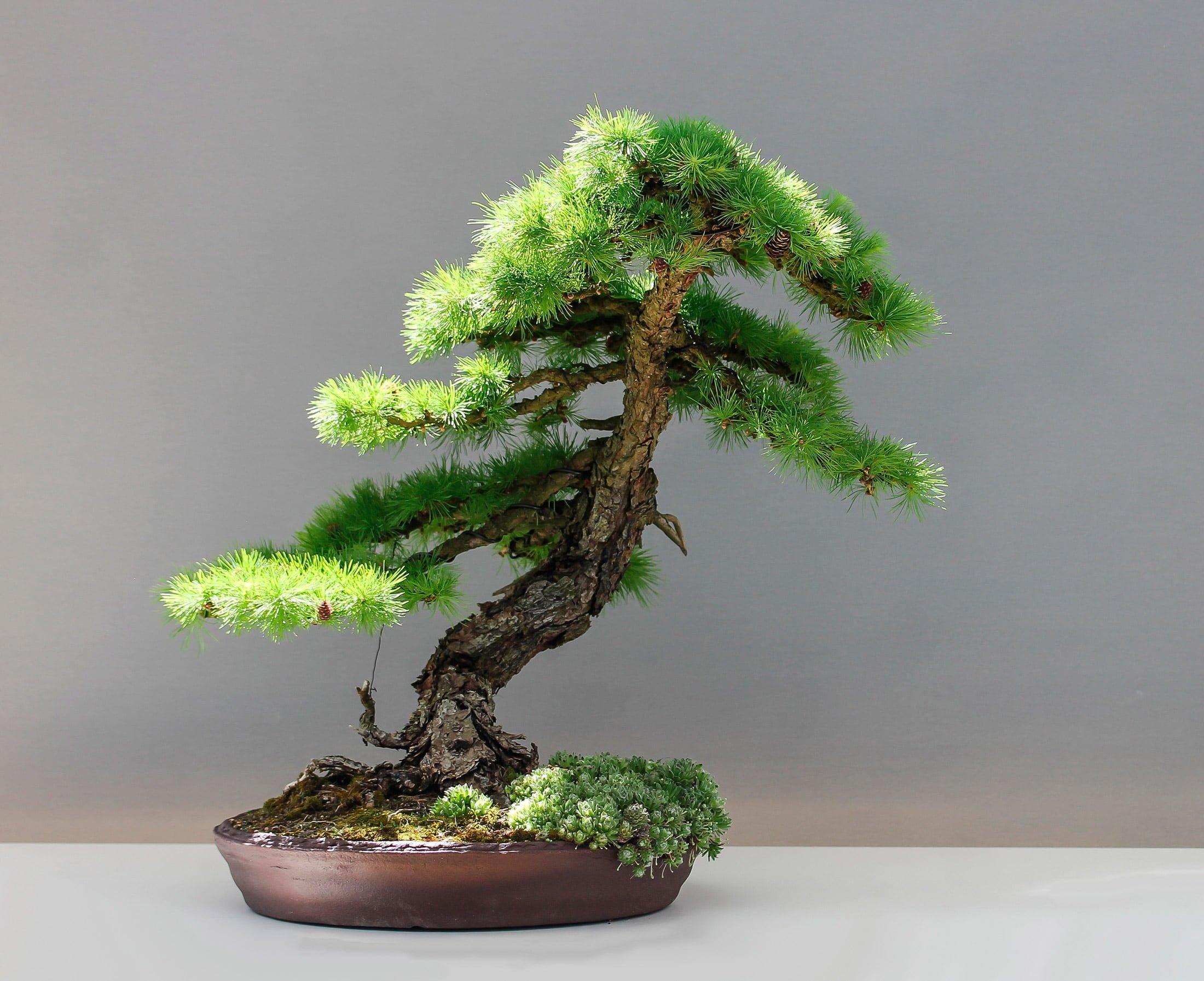 Lerk Bonsai