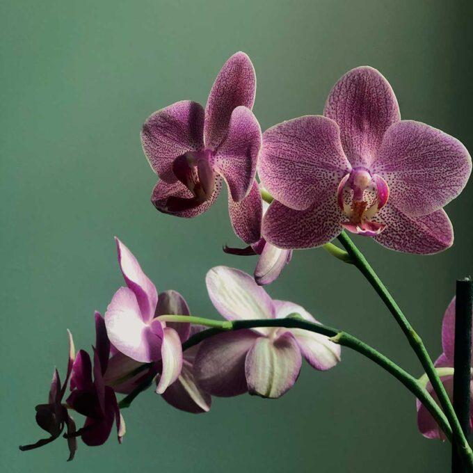 Orkideen Phalaenopsis har brede, flate blader som sitter i en rosett, kommer i flere farger