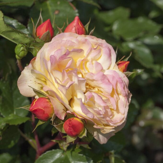 Stilkrose 'Lampion'