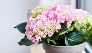 Blomstrende inneplanter