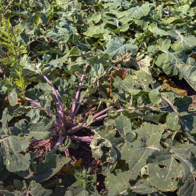 grønnsaksplanter Kålrot kålrabi