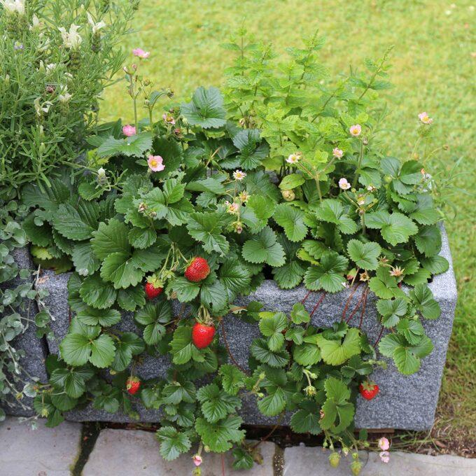 Jordbær 'Delizze' 12 cm potte