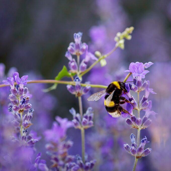 Lavendel 'Hidcote' 14 cm potte