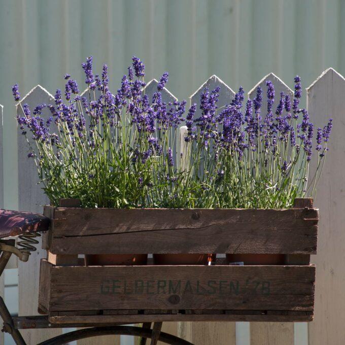 Lavendel 'Hidcote' 19 cm potte