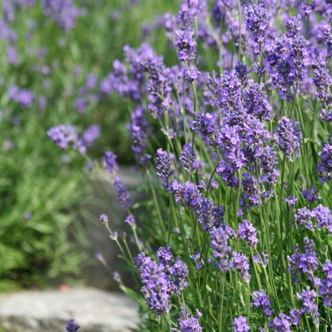Lavendel 'Hidcote' 25 cm potte
