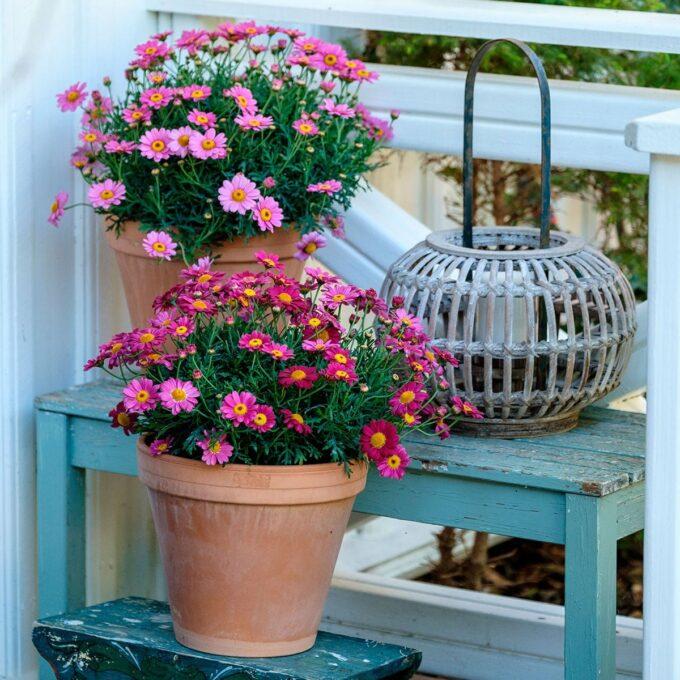 Margeritt rosa/rød busk 19 cm potte