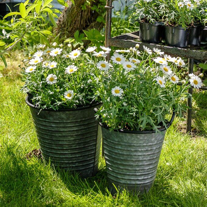 Margeritt hvit 19 cm potte