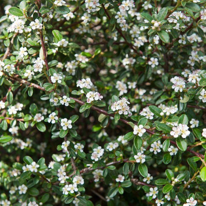 vintermispel hjeltnes hvite blomster