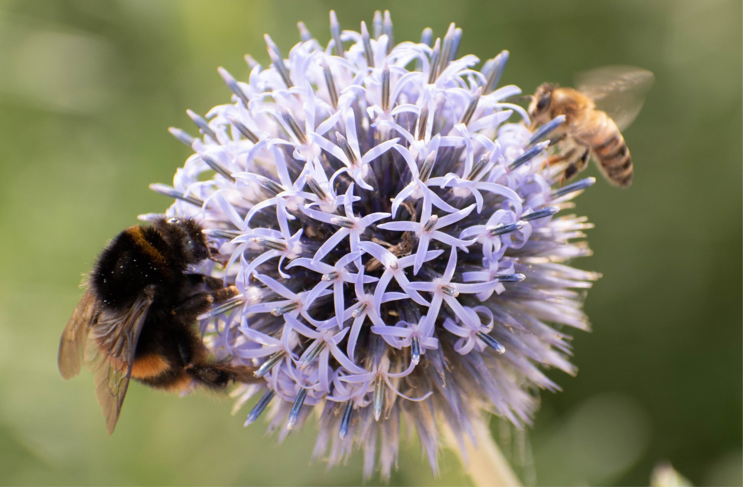 Humle og bie