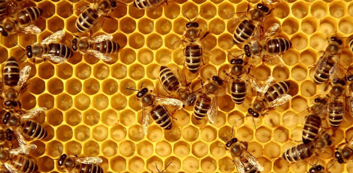 viser bier i bikube med larver i cellene