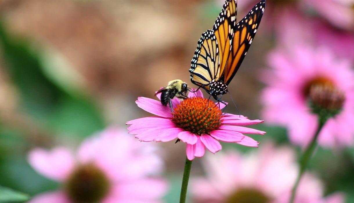 humle og sommerfugl på rosa solhatt