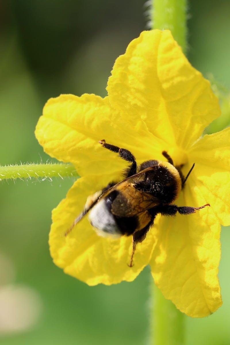 humle som pollinerer agurkplante