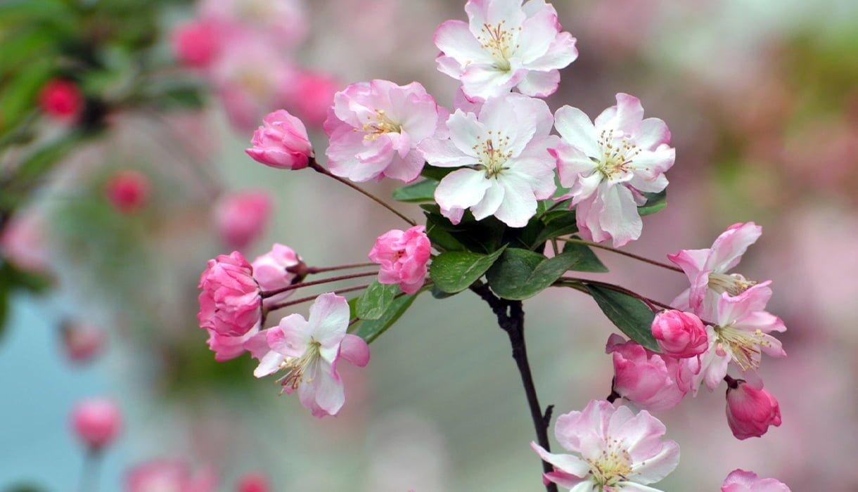 Blomstrende frukttrær