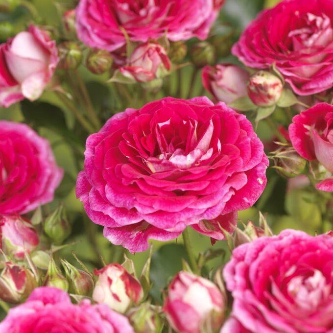 Klaserose 'Cerice Flower Circus'